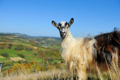 Goat in mountain. Autumn season Stock Photo