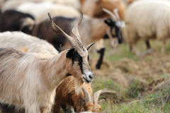 Goat in mountain. Autumn season Royalty Free Stock Photography