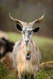 Goat in mountain. Autumn season Stock Photos