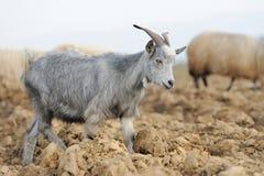 Goat in mountain. Autumn season Royalty Free Stock Image