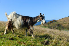 Goat in mountain. Autumn season Royalty Free Stock Photo