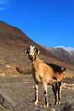 Goat. Royalty Free Stock Photos