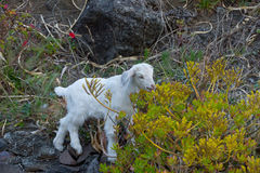 Goat on the Mountain. Little Goat on the Mountain Royalty Free Stock Photos
