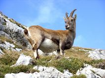 Goat, Mountain, Mountain Goat, Ibex Stock Photography