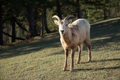 Goat on mountain pasture Stock Photo