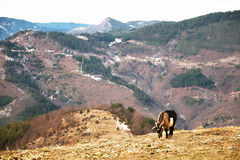 Goat on a Mountain Pasture Stock Images