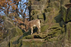 Goat. On a mountain slope Stock Image