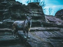 Goat mountain stones autumn forest winter sky royalty free stock photography