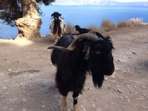 Goat. In the mountains of Crete Royalty Free Stock Image
