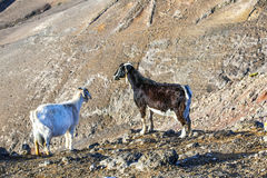 Goat in the mountains of Lanzarote island in Spain Stock Images