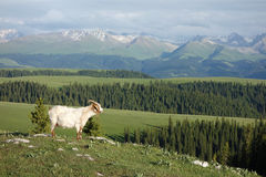 Goat in mountains Royalty Free Stock Photo