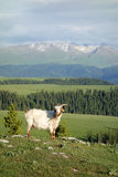 Goat in mountains Stock Images