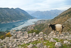Goat in the mountains Royalty Free Stock Photo