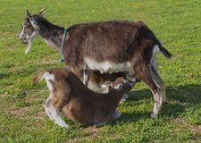 Goat mum are breastfeed her two kids Stock Photos