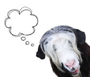 Goat muzzle of black and white color. Funny goat muzzle of black and white color and scribbled comic speech bubble. Isolated on white background Stock Images