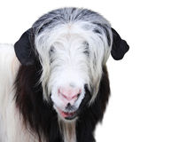 Goat muzzle of black and white color. Isolated on white background Stock Photos
