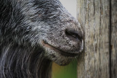 Goat muzzle clooseup Stock Images