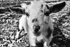 Goat my face Royalty Free Stock Image