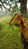 GOAT. My goat in nepal, i love her, my favorite goat.... i am happy to play with her... iloveyou jully stock image