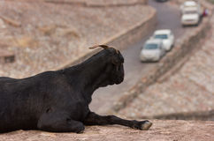 Goat. This my travel photo taken from JAIPUR.goat enjoy the view on top of hill Royalty Free Stock Photo