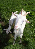 Goat nanny Stock Photos