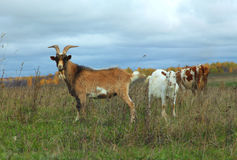 Goat, nanny-goat, and cow grazing in autumn field Royalty Free Stock Photos