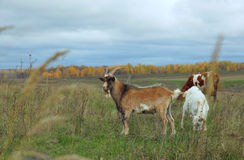 Goat, nanny-goat, and cow grazing in autumn field Royalty Free Stock Images