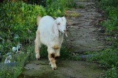 Goat At Natural Location In Himachal Pradesh India