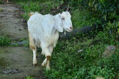 Goat At Natural Location In Himachal Pradesh India