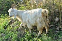 Goat In Natural Location Himachal Pradesh India