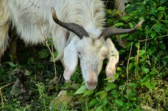 Goat In Natural Location Himachal Pradesh India