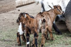 Goat in nature royalty free stock photos