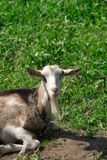 Goat on the nature Royalty Free Stock Image