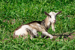 Goat on the nature Royalty Free Stock Photography