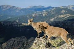 Goat nature 11 royalty free stock photos