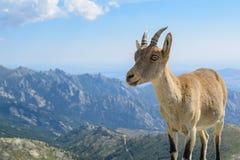 Goat nature 03 royalty free stock image