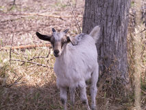 Goat on Nature Reserve at Skala Kalloni Lesvos Greece Stock Image