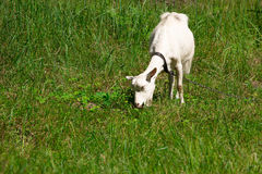 Goat on the nature Royalty Free Stock Images