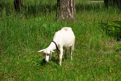 Goat on the nature Stock Photography