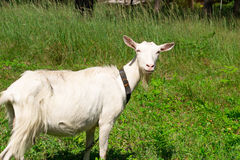 Goat on the nature Royalty Free Stock Photo