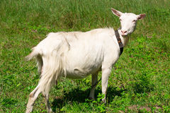 Goat on the nature Stock Images