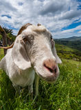 Goat in New Zealand landscape. Close-up shot of goat looking into the camera in the New Zealand countryside Stock Photo
