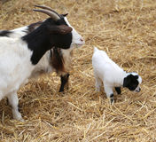 Goat newborn with her mom Stock Photos