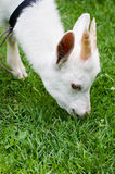 Goat nibble grass. Cute goat nibble grass outdoor Royalty Free Stock Photos
