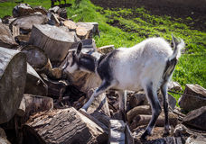 Goat nibbling bark from tree trunks Royalty Free Stock Image