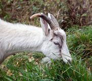 Goat nibbling grass Royalty Free Stock Photo