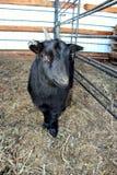 Goat. Nigerian dwarf goat, black fur coat, happy little goat inside the pens. Winter time stock image