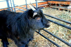Goat. Nigerian dwarf goat, black fur coat, happy little goat inside the pens. Winter time royalty free stock images