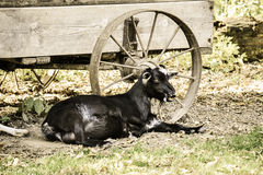 Goat By Old Wagon Royalty Free Stock Images