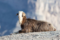 Goat in Oman Royalty Free Stock Image